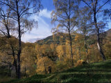 Birch Trees in Autumn, Glen Lyon, Tayside, Scotland, United Kingdom Photographic Print by Kathy Collins