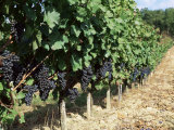 Vineyard, Gaillac, France Lámina fotográfica por Robert Cundy