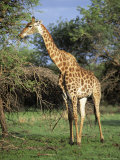 Giraffe, Mkuzi Game Reserve, Natal, South Africa, Africa Photographic Print by Rob Cousins