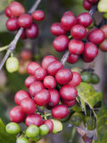 Ripe Coffee Berries, Kona Joe's Coffee Plantation, Kona, Hawaii Photographic Print by Ethel Davies