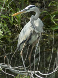 Great Blue Heron, Everglades National Park, Unesco World Heritage Site, Florida, USA Photographic Print by Ethel Davies