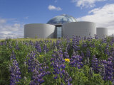 Wild Purple Lupins Surrounding the Pearl (Perlan) Oskjulid Dome, Reykjavik, Iceland, Polar Regions Photographic Print by Neale Clarke