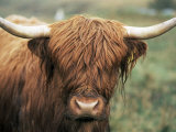 Highland Cow, Near Elgol, Isle of Skye, Highland Region, Scotland, United Kingdom Photographic Print by Neale Clarke