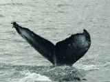Humpback Whales, Husavik, the Whale Capital of Europe, Iceland, Polar Regions Photographic Print by Ethel Davies