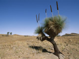 Yakka Plant, Flinders Range, South Australia, Australia Photographic Print by Neale Clarke