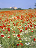 Common Poppies (Papaver Rhoeas) in Field, Northumbria, England, United Kingdom Photographic Print by Neale Clarke