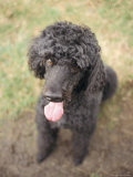 Standard Poodle Photographic Print by Mark Chivers