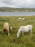Connemara Ponies, County Galway, Connacht, Republic of Ireland Lámina fotográfica por Gary Cook