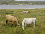 Connemara Ponies, County Galway, Connacht, Republic of Ireland Photographic Print by Gary Cook