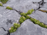 Plants Growing Amongst the Limestone Pavement, the Burren, County Clare, Munster, Ireland Photographic Print by Gary Cook