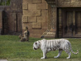 White Bengal Tiger at Miami Metro Zoo, Miami, Florida, USA Photographic Print by Angelo Cavalli