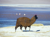 Alpaca, Lago Colorada, Uyuni, Bolivia, South America Photographic Print by Mark Chivers