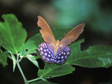 Butterfly, Pierella Hyalinus, Amazon Jungle, Bolivia, South America Photographic Print by Mark Chivers
