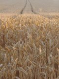 Wheat Field in the Dordogne, Aquitaine, France Photographic Print by Jonathan Hodson