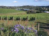 Vineyards, Ostend, Waiheke Island, Hauraki Gulf, North Island, New Zealand Photographic Print by Ken Gillham