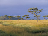 Umbrella Acacia Trees, Masai Mara, Kenya, East Africa, Africa Photographic Print by Robert Harding