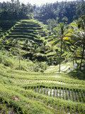 Robert Harding - Terraced Rice Fields, Bali, Indonesia, Southeast Asia Fotografická reprodukce