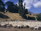 Sheep on the Banks Peninsula, Canterbury, South Island, New Zealand Photographic Print by Ken Gillham