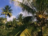Ken Gillham - Coconut Production, Martinique, West Indies, Caribbean, Central America Fotografická reprodukce
