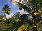 Coconut Production, Martinique, West Indies, Caribbean, Central America Photographic Print by Ken Gillham