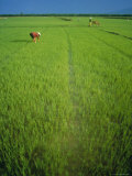 Rice Paddy Fields, Lang Co, Vietnam Photographic Print by Tim Hall