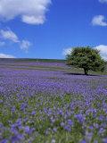Bluebells, Dartmoor, Devon, England, United Kingdom Photographic Print by David Lomax