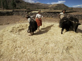 Threshing Wheat at Racchi, Cuzco Area, High Andes, Peru, South America Photographic Print by Walter Rawlings