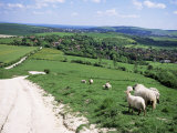 Sheep on the South Downs Near Lewes, East Sussex, England, United Kingdom Photographic Print by Jenny Pate