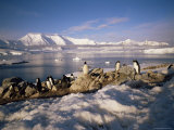 Gentoo Penguins on Wiencke Island, with Anvers Island in Distance, Antarctic Peninsula, Antarctica Photographic Print by Geoff Renner
