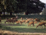 Deer, Richmond Park, Surrey, England, United Kingdom Photographic Print by Walter Rawlings