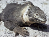 Land Iguana, Plaza Island, Galapagos Islands, Ecuador, South America Photographic Print by Walter Rawlings