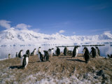 Gentoo Penguins, Antarctica, Polar Regions Photographic Print by Geoff Renner