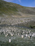 Chinstrap Penguins at Baily Head, Deception Island, Antarctica, Polar Regions Photographic Print by Geoff Renner