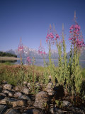 Wild Flowers, Jackson Lake, Grand Teton National Park, Wyoming, USA Photographic Print by Geoff Renner
