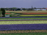 Tulip Fields, Sassenheim Vicinity, Holland Photographic Print by Gavin Hellier