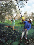 Vibrating Olives from the Trees in the Groves of Marina Colonna, San Martino, Molise, Italy Photographic Print by Michael Newton