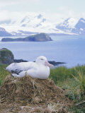 Clsoe-Up of a Wandering Albatross on Nest, Prion Island, South Georgia, Atlantic Photographic Print by Geoff Renner