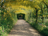 Laburnum Walk in Wilderness Gardens, Hampton Court, Greater London, England, United Kingdom Photographic Print by Walter Rawlings