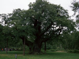 The Major Oak, Sherwood Forest, Nottinghamshire, England, United Kingdom Photographic Print by Jenny Pate