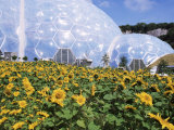 Sunflowers and the Humid Tropics Biome, the Eden Project, Near St. Austell, Cornwall, England Photographic Print by Jenny Pate