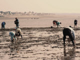 Searching for Seafood on Beach, Vanlee Haven, Cotentin Peninsula, Manche, Normandy, France Photographic Print by David Hughes