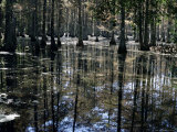 Cypress Swamp, Cypress Gardens, Near Charleston, South Carolina, USA Photographic Print by James Green