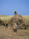 Harvesting Sugar Cane, Mauritius, Indian Ocean, Africa Photographic Print by G Richardson