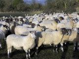 Flock of Sheep, Welford on Avon, Warwickshire, England, United Kingdom Photographic Print by David Hughes