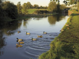 Ducks Swimming in the Worcester and Birmingham Canal, Astwood Locks, Hanbury, Midlands Photographic Print by David Hughes