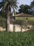 Vineyards, Clos Mireille, Cotes Du Provence, Var, Provence, France Photographic Print by David Hughes