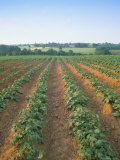 Field of Potatoes, Growing on Sandstone Soil, Warwickshire, England, United Kingdom Photographic Print by David Hughes