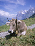Cow at Alpiglen, Grindelwald, Bernese Oberland, Swiss Alps, Switzerland Photographic Print by Hans Peter Merten