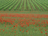 Poppy Field and Vineyard Near Abbazia Di San Antimo, Tuscany, Italy Photographic Print by Lee Frost