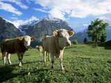 Cows Near Grindelwald, Bernese Oberland, Swiss Alps, Switzerland Photographic Print by Hans Peter Merten